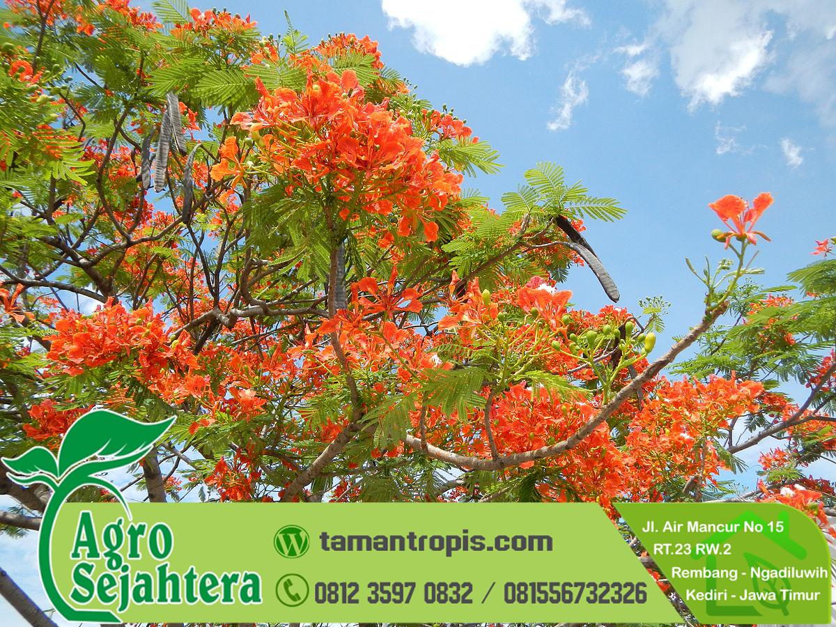Manfaat Pohon Flamboyan Jual Bibit Bunga Flamboyan